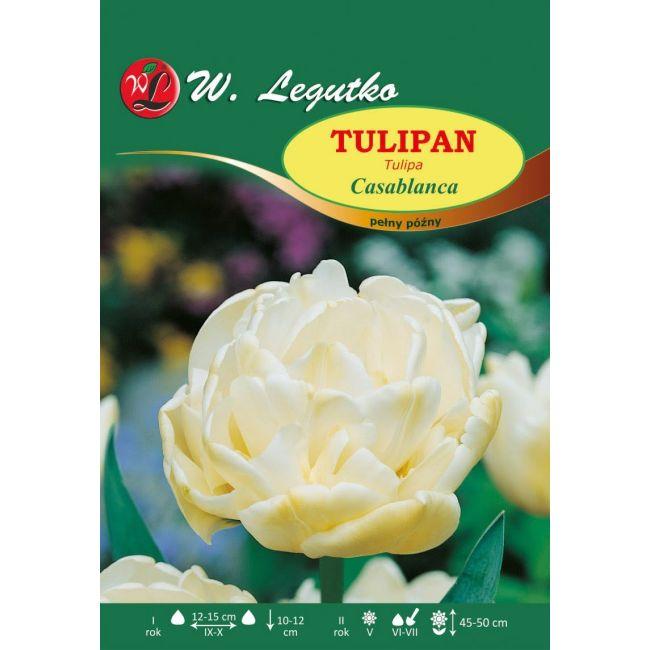 Tulipan - pełny - Casablanca