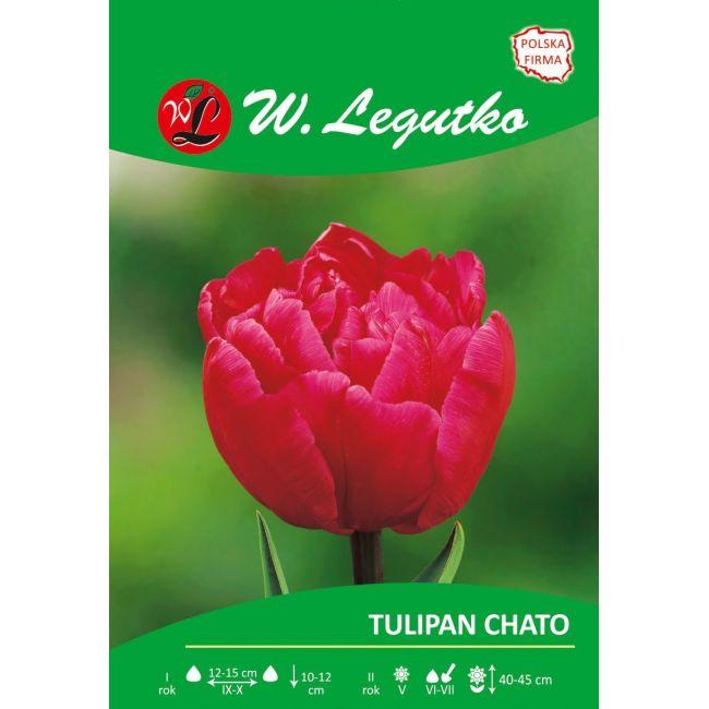Tulipan Chato