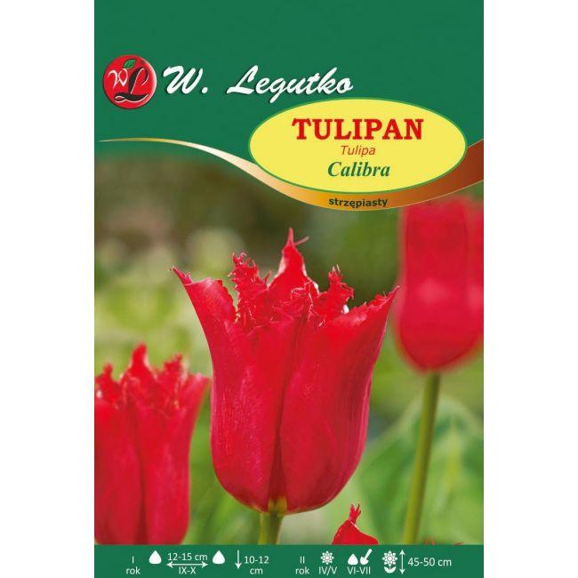 Tulipan Calibra