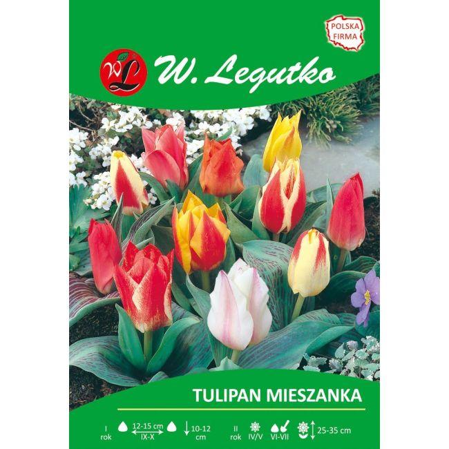 Tulipan - mieszanka kolorów - Greiga