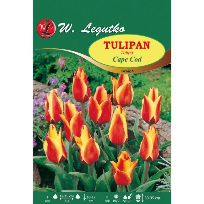 Tulipan Cape Cod