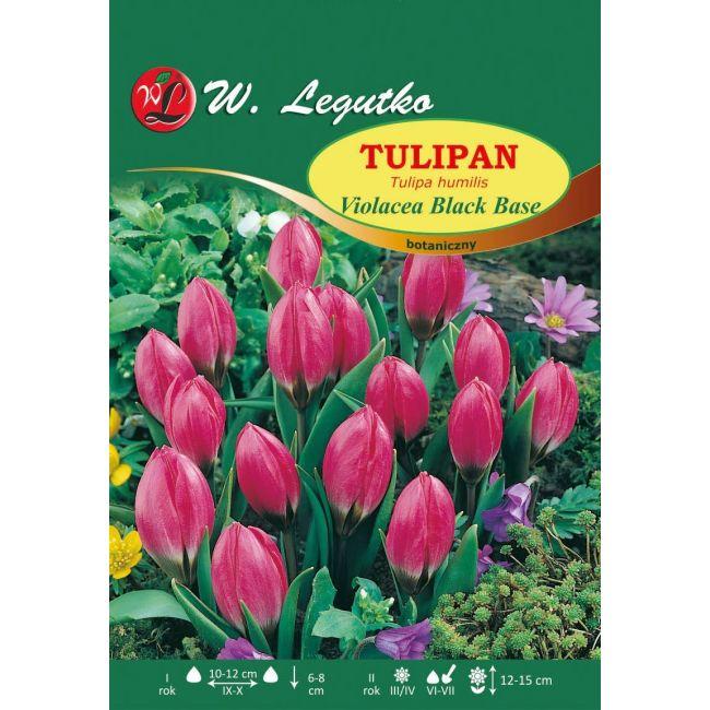 Tulipan - botaniczny - Violacea Black Base