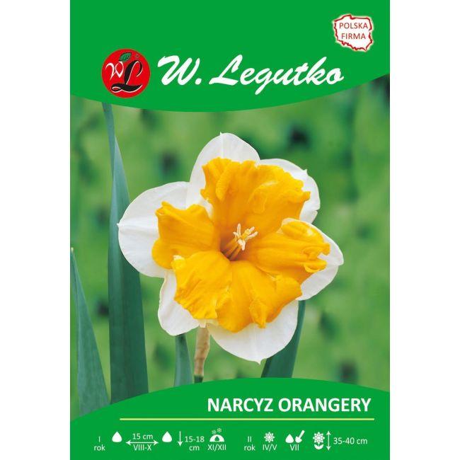 Narcyz - Orangery - Split Corona - biały z pomarańczowym przykoronkiem