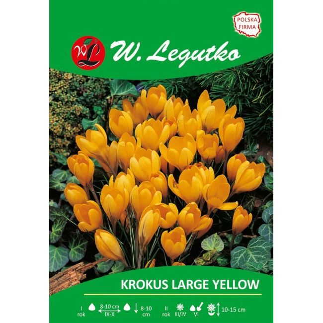 Krokus - Large Yellow - Vernus - żółty