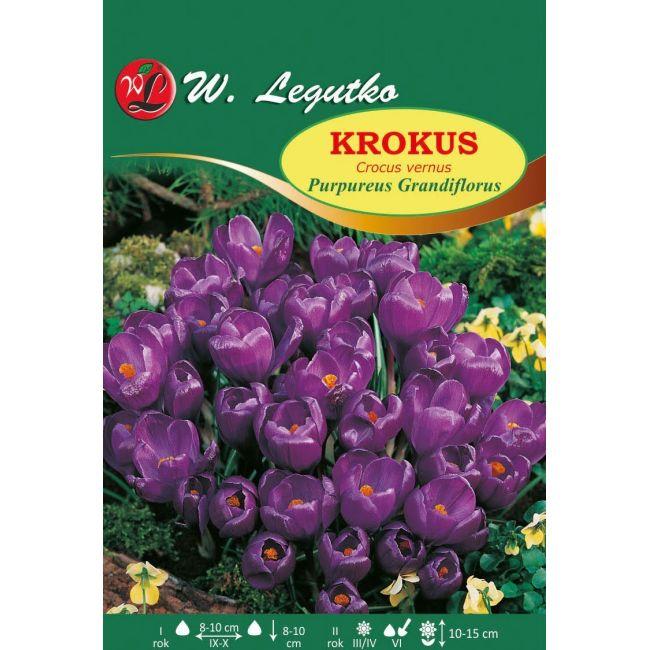Krokus - Vernus - Purpureus Grandiflorus - purpurowy