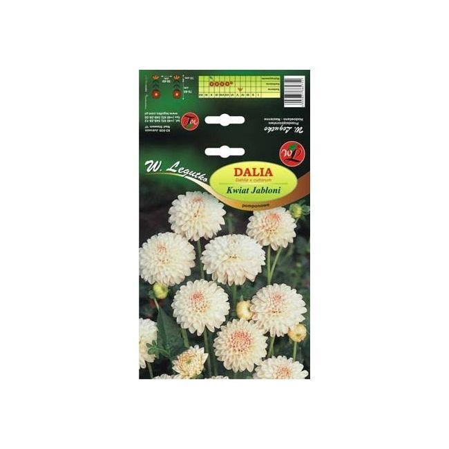 Dalia pomponowa - Kwiat Jabłoni