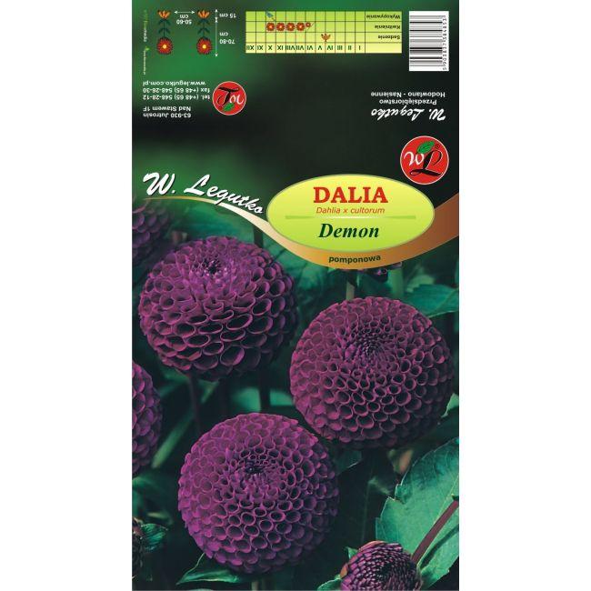 Dalia ogrodowa - pomponowa - Demon - fioletowa