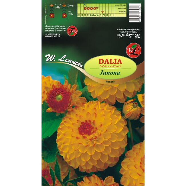 Dalia ogrodowa - kulista - Junona - żółto-pomarańczowa