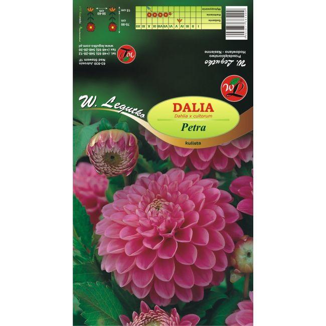 Dalia ogrodowa - kulista - Petra - różowa