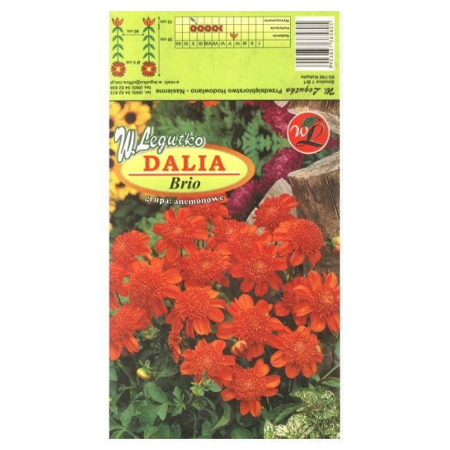 Dalia anemonowa Brio