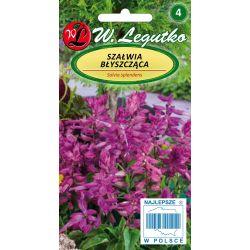 Szałwia błyszczaca - fioletowa
