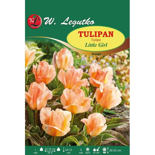 Tulipan Little Girl