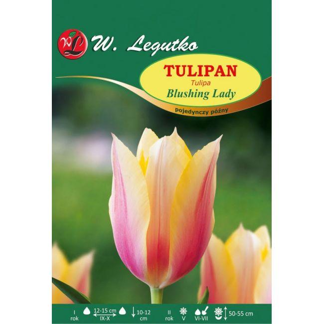 Tulipan Blushing Lady