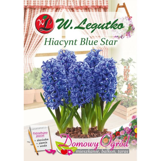 Hiacynt Blue Star