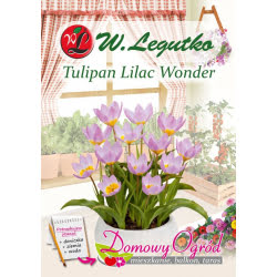 Tulipan Lilac Wonder