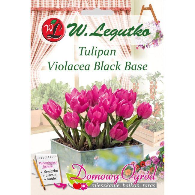 Tulipan - Violacea Black Base - 7 szt.