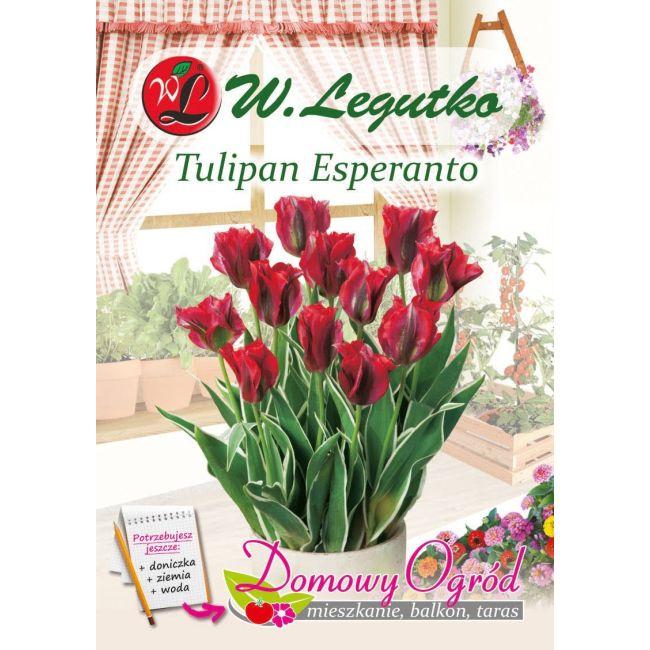 Tulipan - Esperanto - 5 szt.