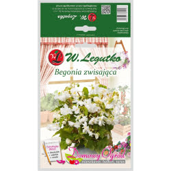 Begonia bulwiasta zwisająca - biała