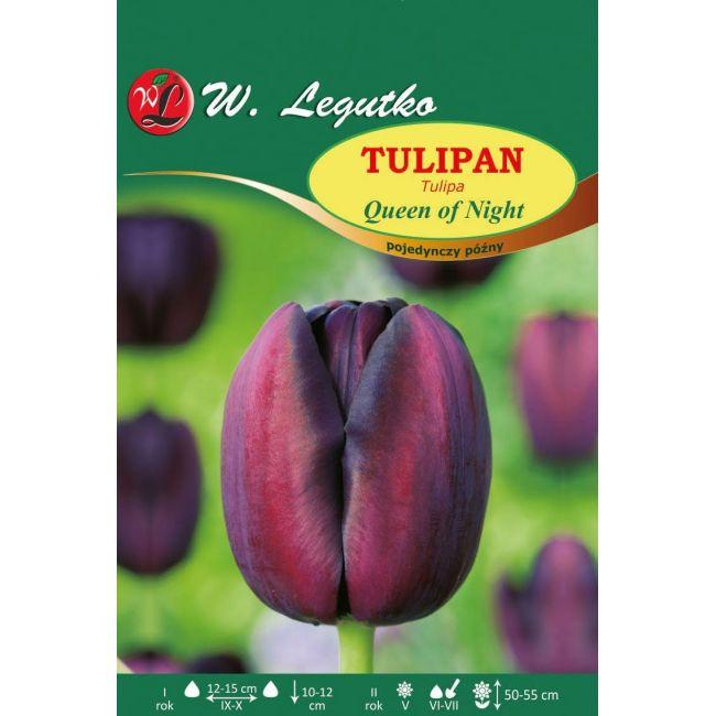 Tulipan Queen of Night
