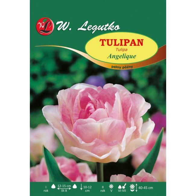 Tulipan - Angelique - 1szt.