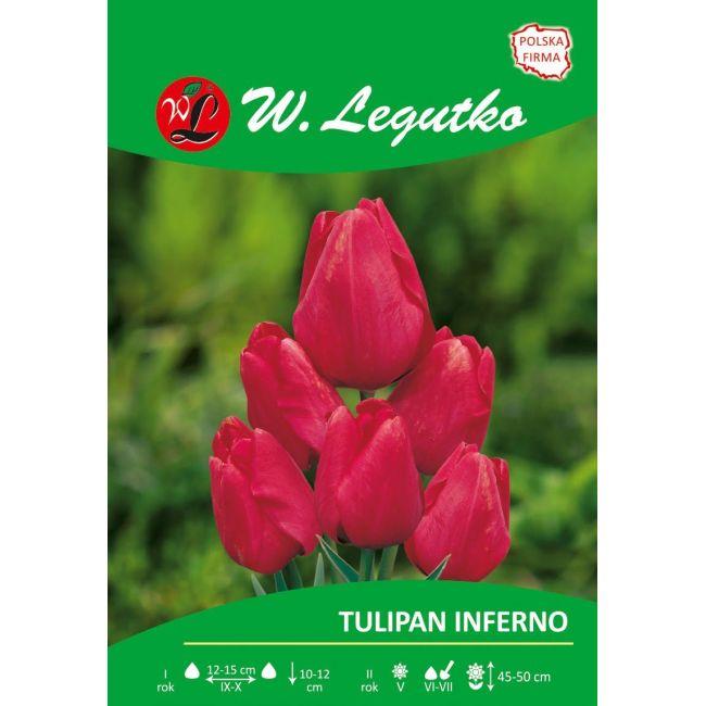 Tulipan Inferno czerwony