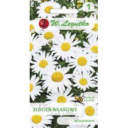 Złocień właściwy o kwiatach pojedynczych- biały