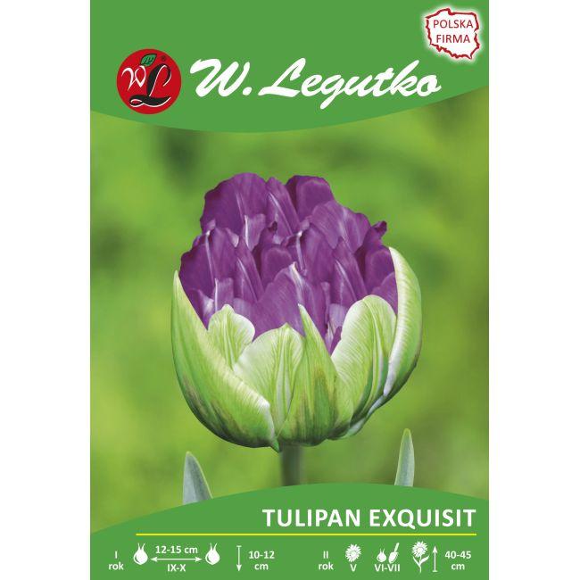 Tulipan - Exquisit - pełny - późny - zielono-fioletowy