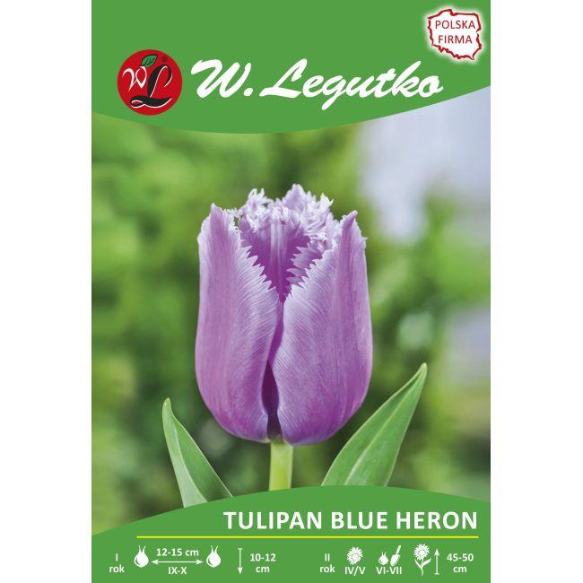 Tulipan - Blue Heron - strzępiasty - fioletowy