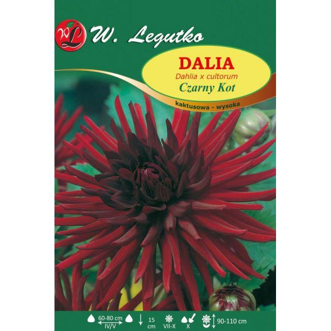 Dalia ogrodowa - kaktusowa wysoka - Czarny Kot - szkarłatna