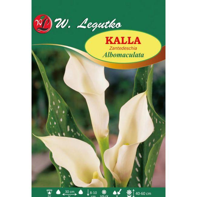 Kalla - Albomaculata - biała