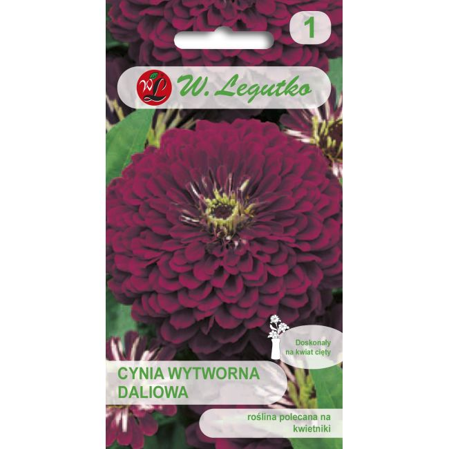 Cynia wytworna daliowa - Violet Queen - fioletowa