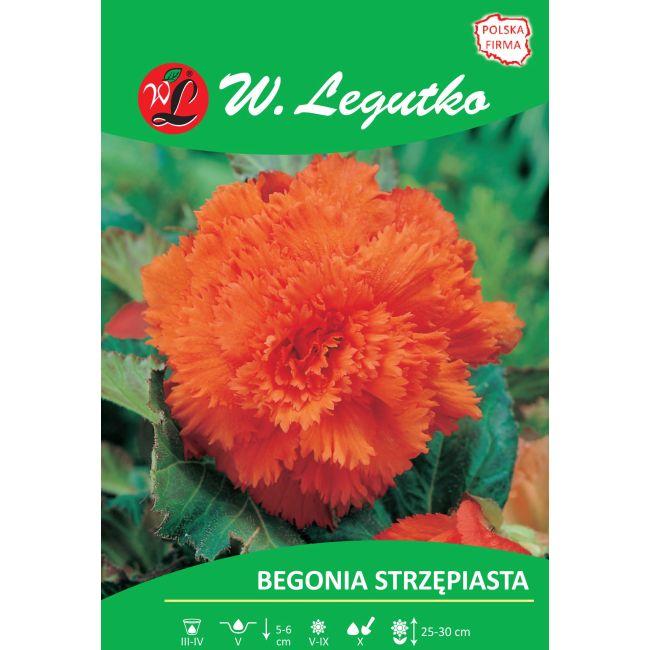 Begonia bulwiasta - strzępiasta - pomarańczowa