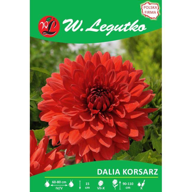 Dalia ogrodowa - dekoracyjna wysoka - Korsarz - czerwona