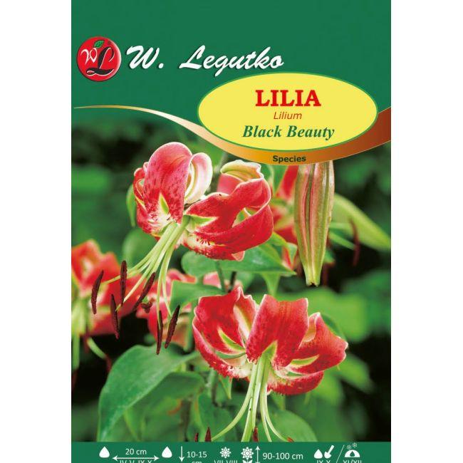 Lilia - Black Beauty - amarantowa