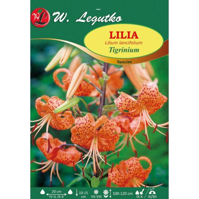 Lilia tygrysia Tigrinum Splendens