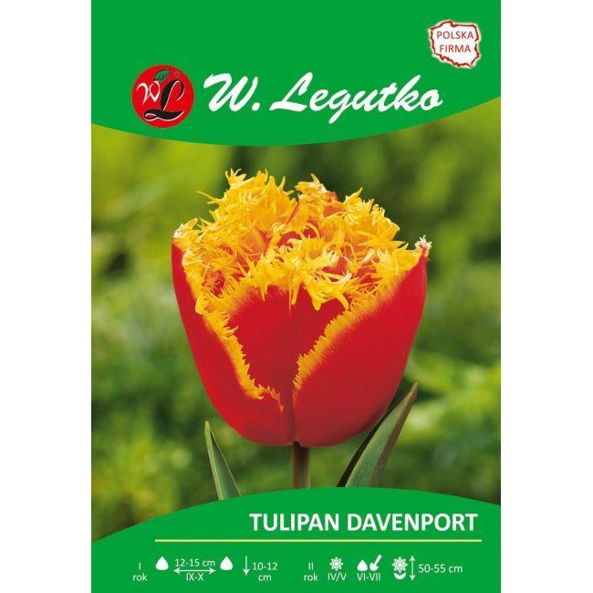 Tulipan - strzępiasty - Davenport