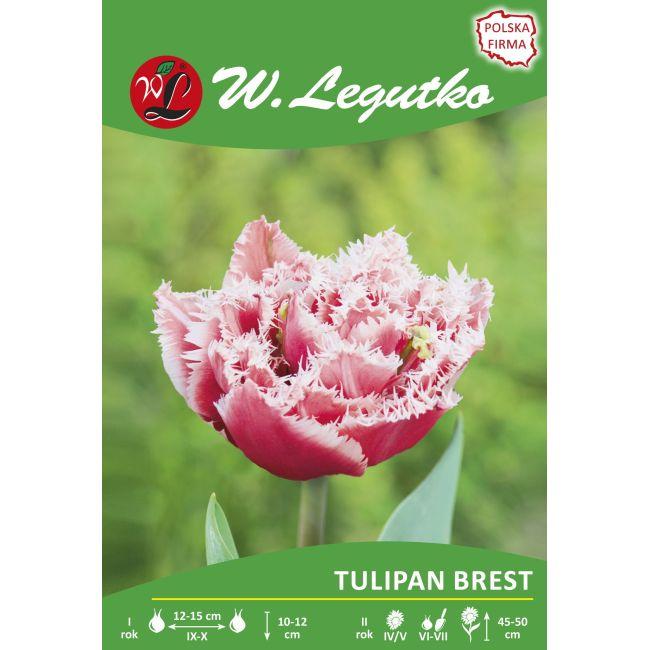 Tulipan - strzępiasty - Brest - 1szt.
