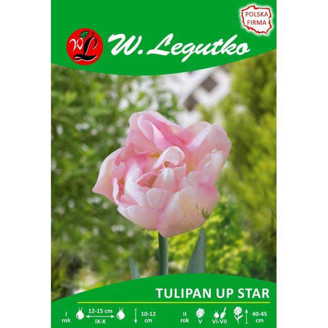 Tulipan - pełny - Up Star - 1szt.