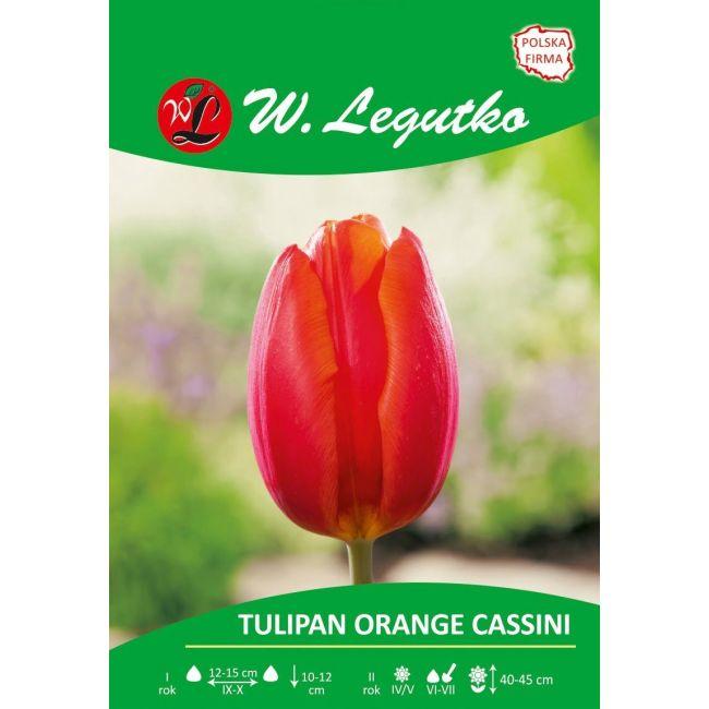 Tulipan - Orange Cassini - Triumph - pomarańczowe - luz