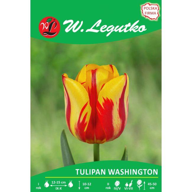 Tulipan - Washington - Triumph - żółty z czerwnymi smugami