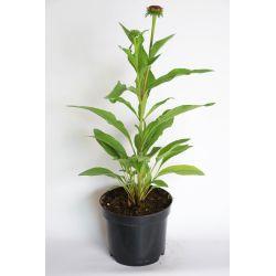 Jeżówka - Echinacea - 'Meditation Orange'