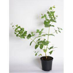 Eucaliptus 'Silbertrophen'