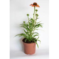 Jeżówka - Echinacea - 'Prima Ginger'