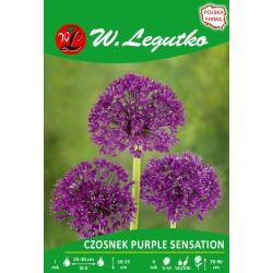 Czosnek Purple Sensation