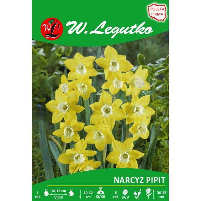 Narcyz - Pipit - Jonquilla - żółty z białym środkiem
