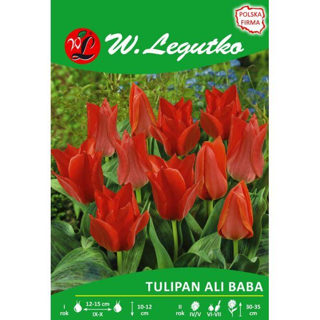 Tulipan - Ali Baba - Greiga - różowoczerwony