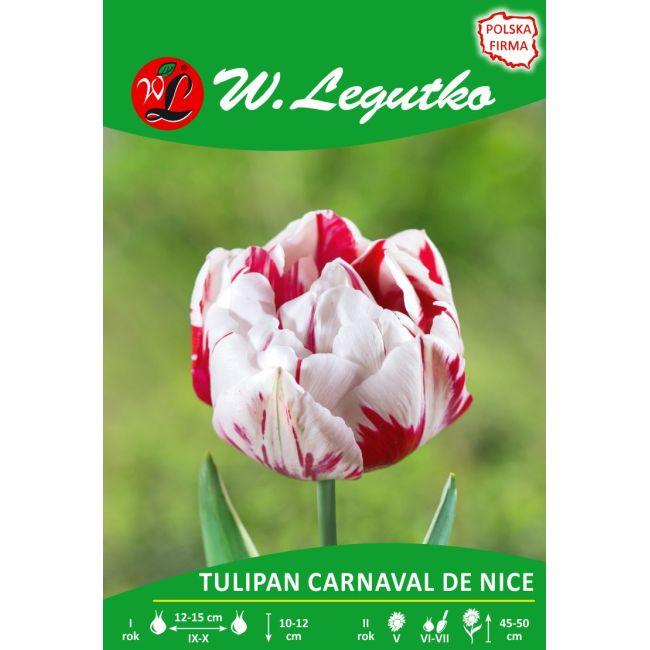 Tulipan - Carnaval de Nice - pełny - późny - czerwono-biały