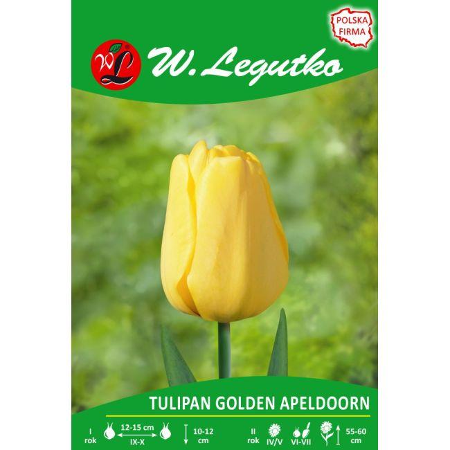 Tulipan - Golden Apeldoorn - mieszańce Darwina - żółty