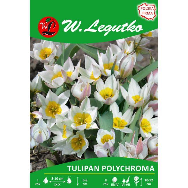 Tulipan polychroma